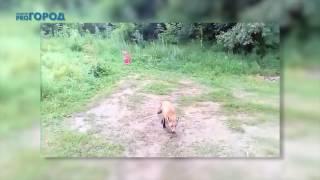 Упоротый лис в Рязанской области