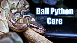 Ball python care guide! How to care for a Ball Python 🐍