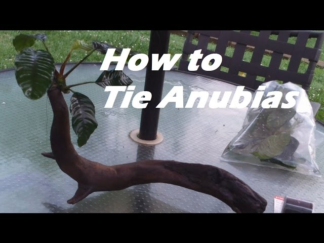 How to Tie Anubias to Driftwood