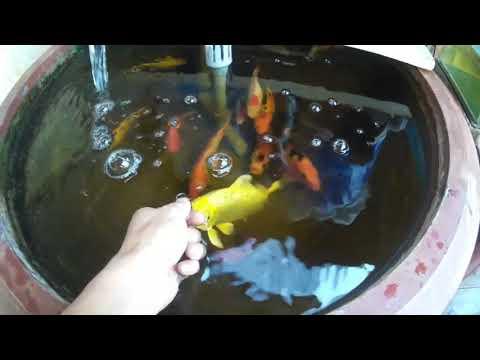 Nuôi cá trong chậu cây( Mini koi aquarium )