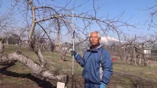 りんごの剪定(老木の成り枝更新剪定~60年超の老木でも「美味しい」りんごを結実)