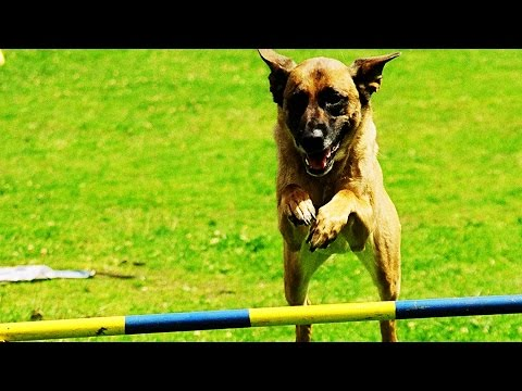 Agility: Der Hundesport