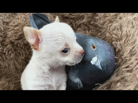 This Smart and Cuddly Pigeon Raises Rescue Puppies