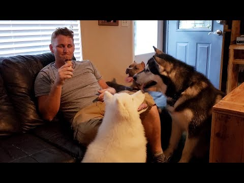 Malamute, PitBull & Husky Puppy Begging For Ice Cream Cone!