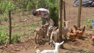 Veracruz Agropecuario - Gallinas En Rancho Chantico En Coatepec