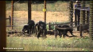 Chimps released after almost 40 years of medical testing.