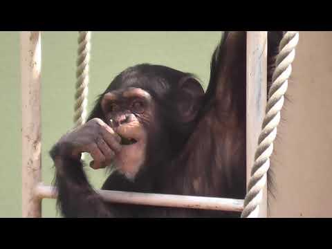 【東山動植物園公式】マシマシチンパンジー『第3回~ヤサイマシマシ~ 後編その②』