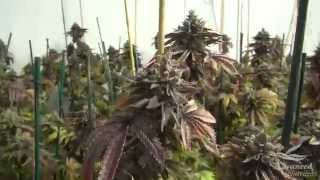 HPS vs MH vs CFL grow lights for growing cannabis