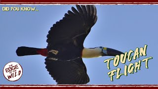 Toucan Flight – Did You Know...