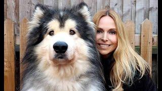 GIANT ALASKAN MALAMUTE DOGS / Animal Watch