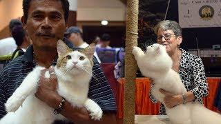 Kucing-kucing Ini Adu Kecantikan di Kontes Internasional 2017
