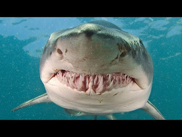 Why Great White Sharks Cannot Be Kept in Aquarium? The Secret Is Revealed!