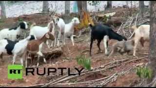قردة ترعى الماعز والأغنام في الهند تحميل MP3