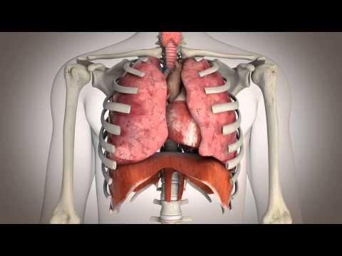 Les os et les muscles 4 classe