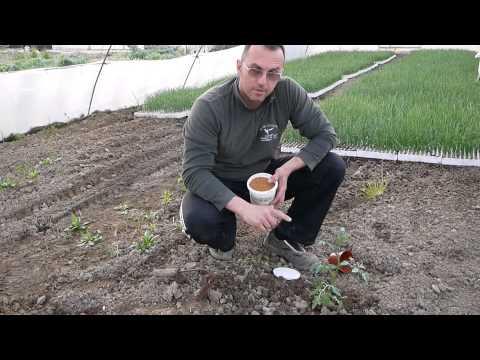Come trapiantare le piante di pomodori con il concime a lenta cessione