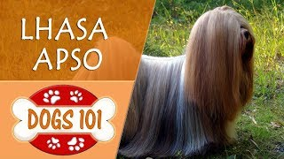 Dogs 101 - LHASA APSO - Top Dog Facts About The LHASA APSO