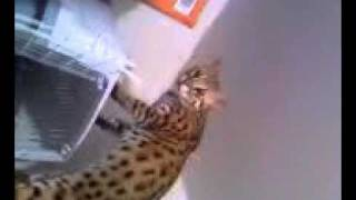 F1 Asian Leopard Cat does not like the scent of his new brother on my hands.