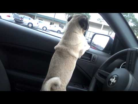 Screaming Pug