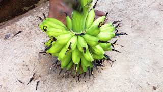 Cutting A Bunch Into A Hand Of Bananas By The Farmer
