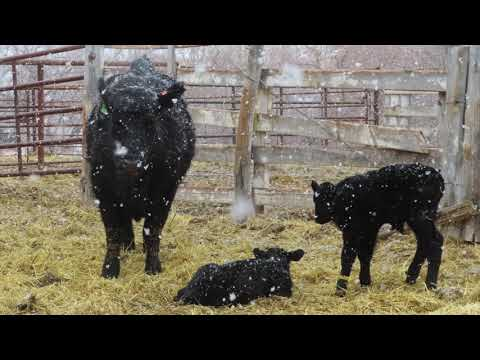 Two Days of Calving Video