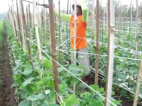 Video Memasang tali gawar ,tali srempang pada tanaman mentimun