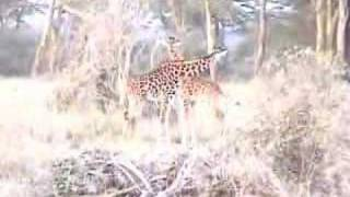 preview picture of video 'Giraffes on safari'