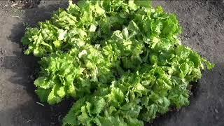 Салат хорошо растет до самой поздней осени