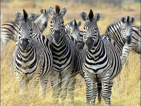 [Doku] Bedrohte Wildnis (2\/2) Botswana, auf den Fährten der Zebras (HD)