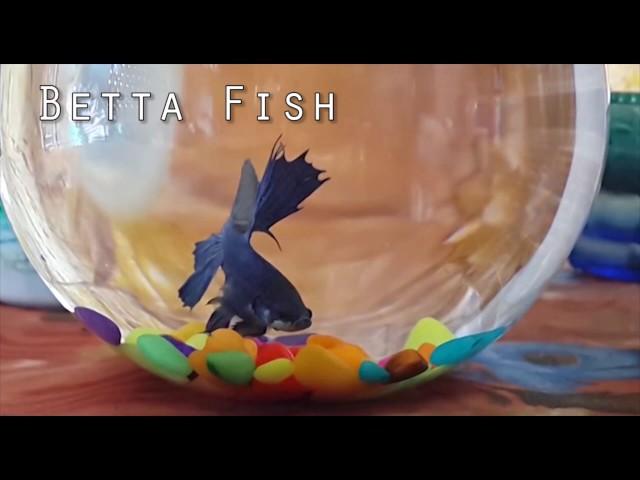 Betta Fish - Basic Knowledge | HINDI URDU