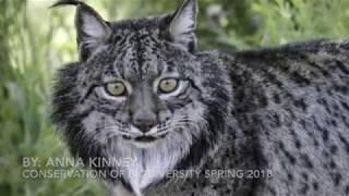 Iberian Lynx: Endangered Species