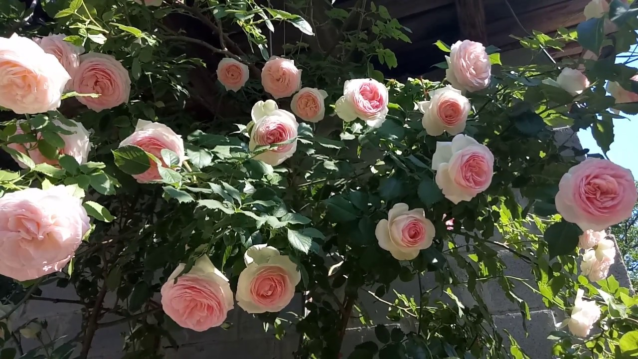 Плетистая роза Eden Rose(Эден Роуз)у нас в саду)