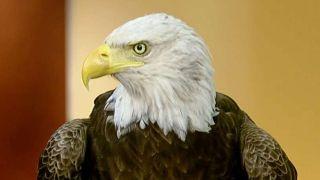 Challenger the bald eagle visits
