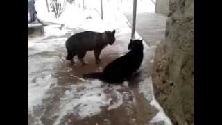 Пьяный кот ругается