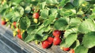 The Best Way to Start a Strawberry Garden- Inexpensive, Fast and Easy!