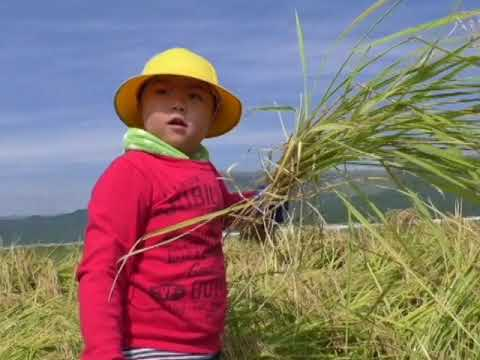 山田小学校で最後の稲刈り