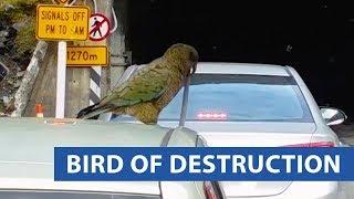 animale pasarea distruge masina
