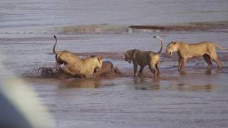 Львы против крокодила