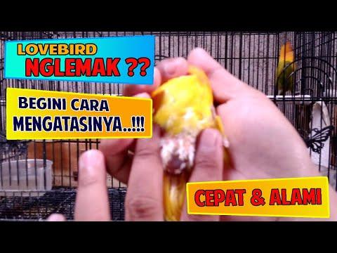 mp4 Lovebird Nggajih, download Lovebird Nggajih video klip Lovebird Nggajih