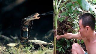Chuyện lạ có thật - Sự trả thù của rắn độc khổng lồ ở An Giang