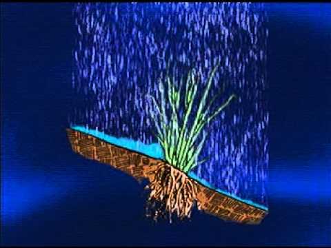 Bioingeniería Vetiver   LA PLANTA