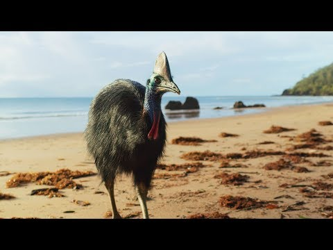 Nature Lesson: The Fascinating and Elusive Giant Cassowary