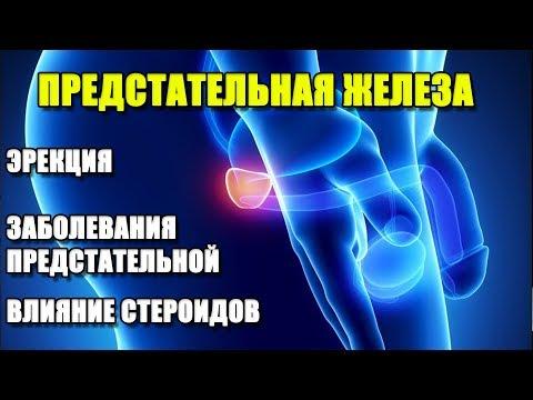 Каковы функции предстательной железы