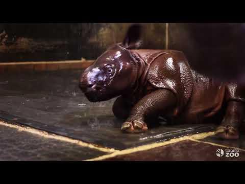 Первое купание маленького носорога