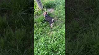 Yorkshire Terrier Puppies Videos