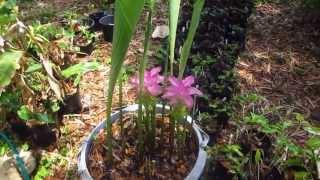 Curcuma elata blooming