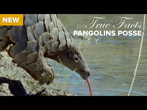 True Facts: Pangolins Posse