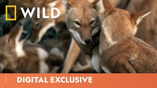 Ethiopian Wolf Hunts for Pups | Africa's Hidden Wonders | National Geographic Wild UK