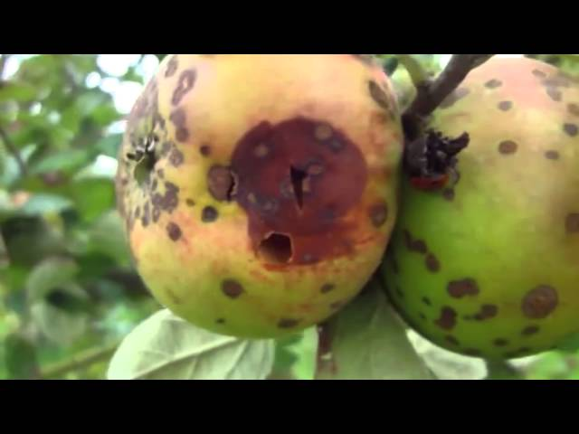 Virus Free Apple Rootstocks