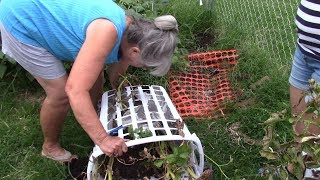 Container Gardening|| She Grows Potatoes In Laundry Baskets!