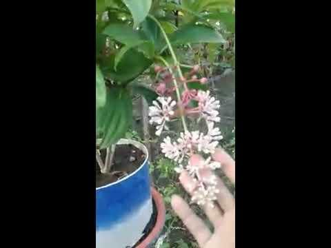 Video Cara Tanam Parijata (parijoto) dalam Pot